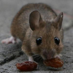 Boutique souris-rats-et-autres-rongeurs